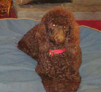 Izabella is an adorable standard poodle in Augusta, GA