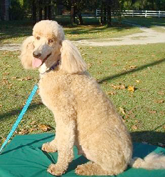 Your source for standard poodle puppies in Augusta, GA