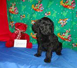 If you're looking for Goldendoodle puppies for sale in Augusta, GA, contact us