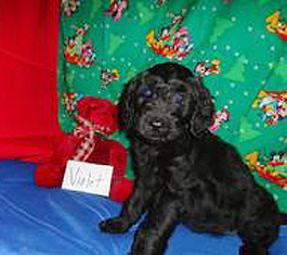 Offering terrific Goldendoodle puppies in Augusta, GA