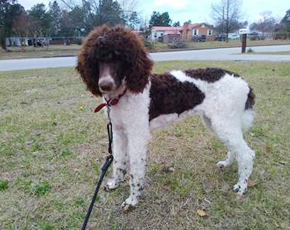 We raise terrific standard poodle puppies in Augusta, GA