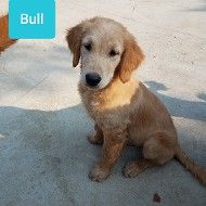 Bull Golden Retriever - Future Daddy