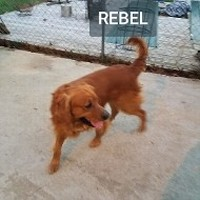 Rebel (Golden Retriever)